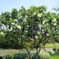 Cây đại trắng trồng ngoài lăng mộ